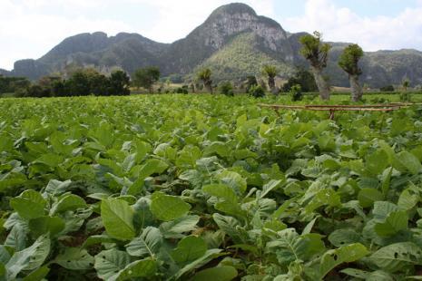 plantation de  tabac