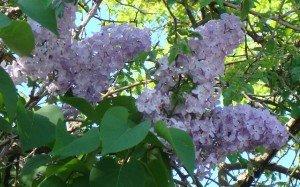 Le lilas de la voisine