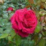 rose1-150x150 dans SAINT-MAUR