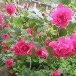 rose2-150x150