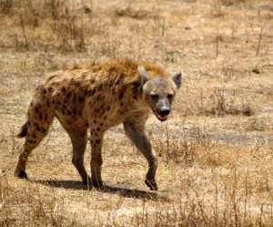 hyene-300x249 dans LETTRES