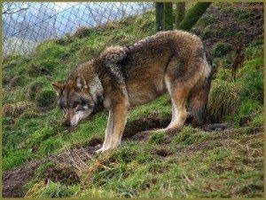loup-en-cage-300x225