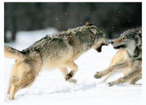 loups qui se battent