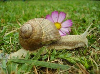 escargot sira
